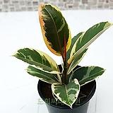 도희씨네 정원>> 그림같은 수채화 고무나무 110|