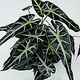 도희씨네 정원>> 익살맞은 잎 거북 알로카시아 中 120|