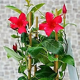 도희씨네 정원>> 빨간색 만데빌라 썬다볼 150|