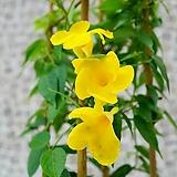 도희씨네 정원>> 노랑색 만데빌라 라라엘 120|