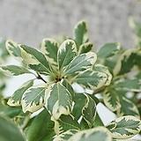 도희씨네 정원>> 아름다운 무늬를 품은 무늬 만리향 특상품 530|