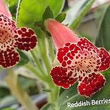 레디쉬베리(코레리아)|Echeveria Redish