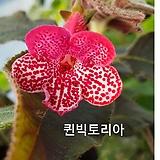 퀸빅토리아(코레리아)|Echeveria globuliflora