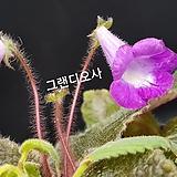 그랜디오사(구근식물)|