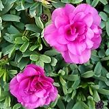 글라브라 더블 사랑초(핑크) 진한핑크색으로 꽃이 피는아이에요
