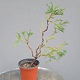운용삼나무 #1|