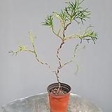 운용삼나무 #2|