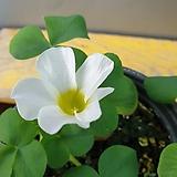 흰색바람개비사랑초( 꽃이 피면 매력이 넘치는 아이에요)