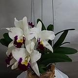 카클레아(흰색)|