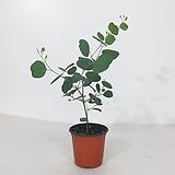 유칼립투스 폴리안 공기정화식물 비염에좋은식물|