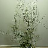 고로키아11번-노오란꽃이 아름다운 이상한식물-동일품배송