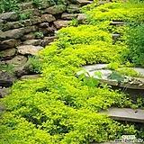 폼폰국화 2종 옐로우4포트, 화이트4포트 노지월동 가을국화 케이야생화