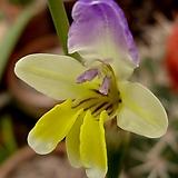 (꽃색은 랜덤)원종 시노티아 붓꽃|