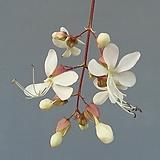 나이시다래/수말리꽃나무|