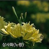 노랑상사화 구근 (1구) 