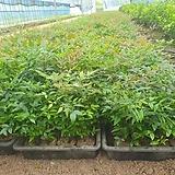 남천나무 포트묘 40포트 한셑 