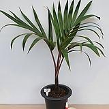 주병야자(특품/1)-동일품배송-공기정화식물|