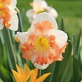 수선화 겹꽃 써니걸프랜드 특구근3개|