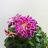 꽃이 잘피는~다알리아 