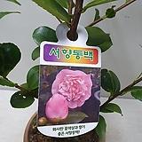 서향동백/향기꽃/동백|