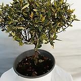 황금마삭나무 |variegated