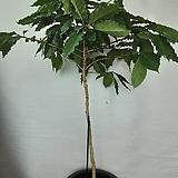 열매달린커피나무 |