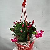 꽃분홍색 게발선인장|