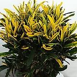 바나나크로톤(노랑)|