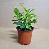 [H]오렌지레몬나무(S2) 2020 새상품/구연산과 비타민c 묘목|