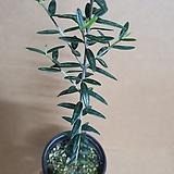 [H]올리브나무 작은외목대 2020 새상품/올리브나무(요리할때 식재료로 사용해요,미네랄,비타민,두뇌발달)|