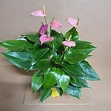 [G]미니 안스리움 핑크(S2) 2020 새상품/공기정화식물|