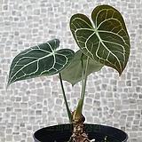 도희씨네 정원>> 귀하신몸 안시리움 클라리네비움 단일상품 2150|