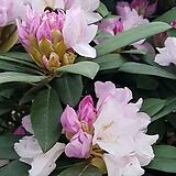 앵수만병초 꽃눈 7개|