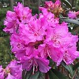 태양만병초 꽃눈 7개|