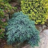 세종식물원 정원 조경 측백 블루스타 나무 묘목 포트 (2포트) 