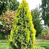 세종식물원 조경 정원 울타리 에메랄드골드 나무 묘목 포트 (30cm전후/2포트) 