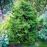 세종식물원 카페 정원 조경 측백 트롤로사 편백 나무 묘목 포트 (2포트) 