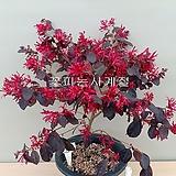 자엽붉은풍년화-(외목수형-21)-동일품배송|