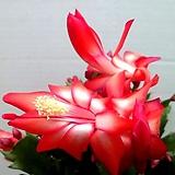 게발선인장(꽃대가득)-레드투톤|
