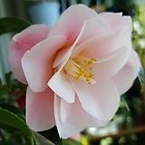 우의동백 꽃대 많은 아이로 랜덤발송|