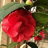 도희씨 정원>> 꽃망울 많은 블랙로즈 동백 중형 250|