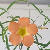 옥살리스(사랑초) 비너스|Echeveria Venus