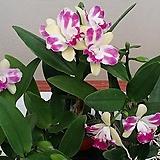 카틀레야 빌리지쉬프(아주예쁜색).꽃대.귀한종이며 화려한색.향기좋은향.(그린색바탕에붉은립프).인기상품.|