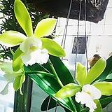 카틀레야 에메랄드.꽃대.그린색에 흰색립프.향기좋은향.고급종.잘않나오는 품종.인기상품.|