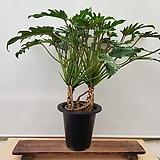[진아플라워] 뿌리 모습이 환상적인 공기정화 능력자 뿌리셀렘  290|
