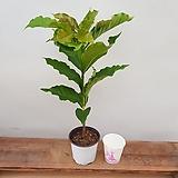 [진아플라워] 만인의 사랑 아라비카 커피나무 중형 049|