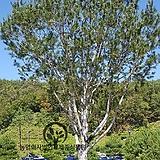 세종식물원 정원 조경 기념수 특이수종 흰색 소나무 백송 묘목 화분 (H0.8m전후) 