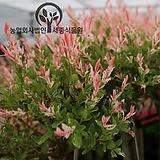세종식물원 정원 조경 신품종 버드나무 플라밍고셀릭스 Salix Flamingo 묘목 화분 