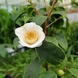 도희씨네 정원>>  잎에 무늬가 들어있는 변천백옥 동백이 590|