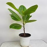 뱅갈고무나무(외목대)|